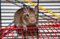 Degu species small South American rodents Stock Photos