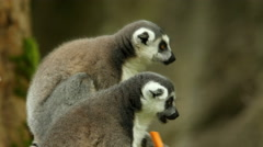 Ring-tailed Lemurs Feeding Time Stock Footage