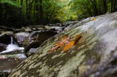 Two fall leaves on river rock - stock photo