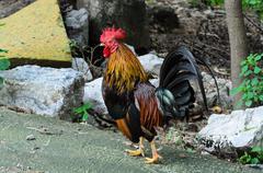 Chicken  Fighting chicken. Stock Photos