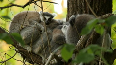 Ring-tailed Lemurs Startled Stock Footage