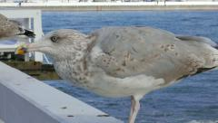 Larus marinus. Great black-backed gull 1 Stock Footage