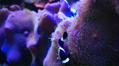 Black crown fish swimming - stock footage