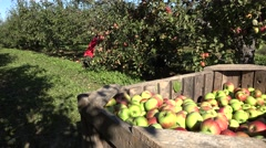 Woman worker pick red apple harvest in garden. 4K Stock Footage