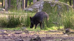 Wild boar among granit boulders grazing Stock Footage