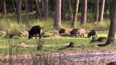 Wild boar female with piglets Stock Footage