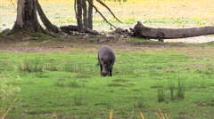 Wild boargrazing calmly. Lake in background Stock Footage