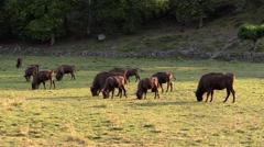 European bison in large group grazing Stock Footage