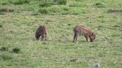 Wild boar very young piglets looking for food Stock Footage
