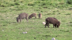 Wild boar young piglets looking for food Stock Footage