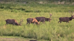 Red deer stag walk by grazing Stock Footage