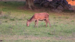 Red deer grazing side to camera Stock Footage