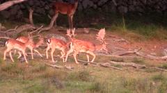 Fallow deer in small group walking Stock Footage