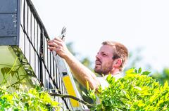 Trimming an ivy with hedge trimmer. - stock photo