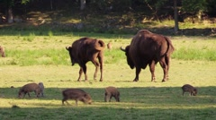 European bison walk to others and join them Stock Footage