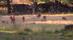 Red deer herd resting and eating wide shot Stock Footage