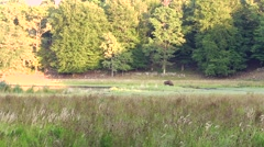 Bison bull grazing in vegetation at lakesid. Stock Footage