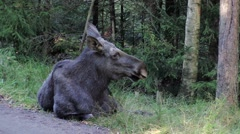 Moose cow resting in forest - stock footage