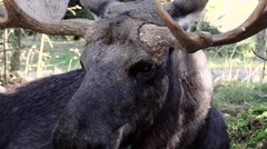 Portrait close up moose bull Stock Footage