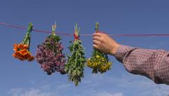 Man herbalist hanging bunches of various medical herbs to dry Stock Footage
