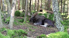 Moose bull falling asleep Stock Footage