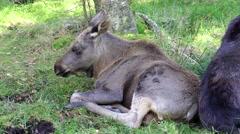 Moose calf Stock Footage