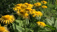 Bumblebee picking pollen from Horse-heal Elecampane flowers Stock Footage