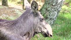 Moose cow portrait - stock footage