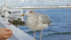 Larus marinus. Great black-backed gull 4 Stock Footage