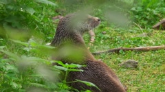 River Otter in autumn Stock Footage