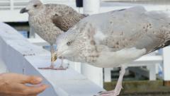 Larus marinus. Great black-backed gull 6 Stock Footage