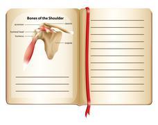 Bones of the shoulder on page - stock illustration