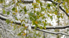 Green leaves of birch covered with snow Stock Footage