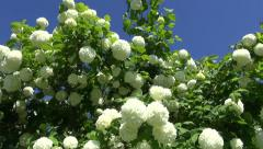 Flowering beautiful viburnum bush on sunny day Stock Footage