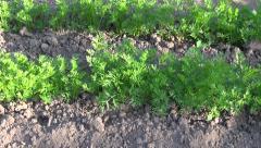 Freshly weeded carrots in vegetable garden Stock Footage