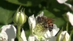 Flowering blackberry with bee pollinating it Stock Footage