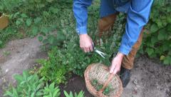 Man collecting fresh lemon balm herb Stock Footage