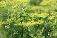 Thickets of green dill closeup - stock photo