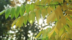 Beautiful autum leaves, green and yellow with sun Stock Footage