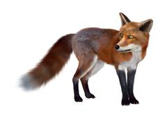 Red Fox Piirros