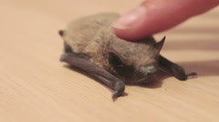 The bat lies on the ground, a man stroking her finger Stock Footage