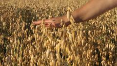 Feminine hand gently touches the ears of oats. - stock footage