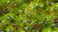 Juniper berries on the branches close-up Stock Footage