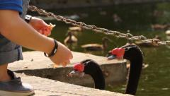 Feeding the swans with bread. Stock Footage