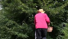 Man in a hat climbing ladder to pick linden tree blossom Stock Footage