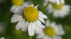 Chamomile medical blossom flowering in herbs garden - stock footage