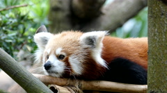 Red panda Stock Footage