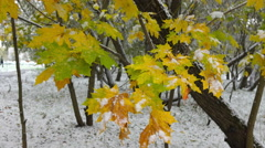 Green and yellow leaves with snow  4 Stock Footage