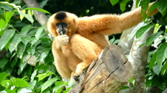 Spider monkey eating Stock Footage