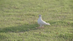 Dove walking on grass In Slow Motion Stock Footage